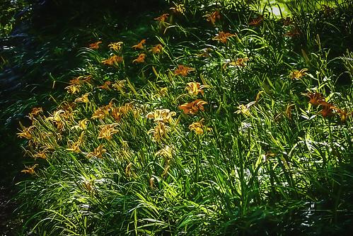 orange flower orangeflower daylily daylilies bellesouthstudio beauty wildflower green leaves plants nature landscape rebeccacook