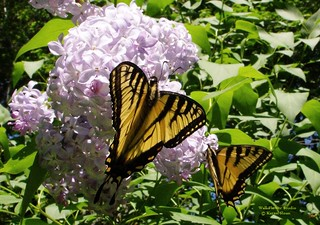 A pair of Tiger Swallowtail butterflies on the lilacs - Papilio glaucus | by Karen @ Wall Flower Studio