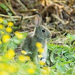 Evening Rabbit