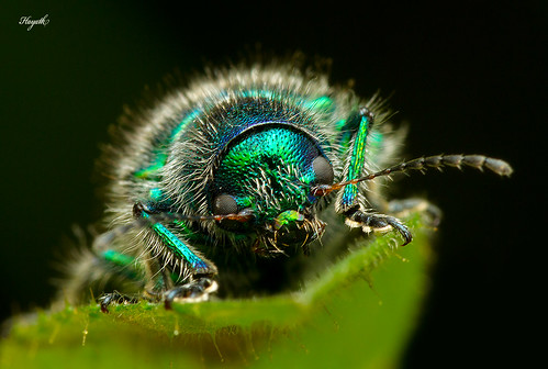Beetle, close-up   by Hayath