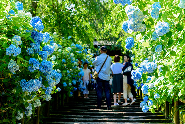 At Hydrangea Entrance of Meigetsuin Temple. Kamakura : 北鎌倉・明月院あじさい参道