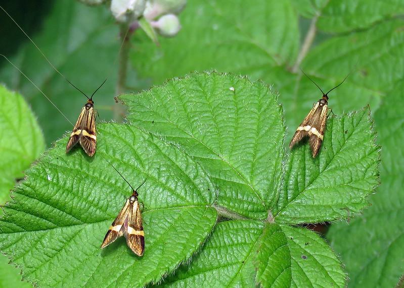 7.001 Nemophora degeerella