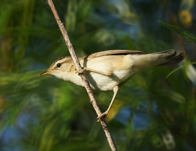 Black-browed Reed Warbler, Acrocephalus bistrigiceps, Чернобровая камышовка