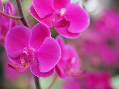 Moth orchid is the common name for the phalaenopsis orchid   by huislaw