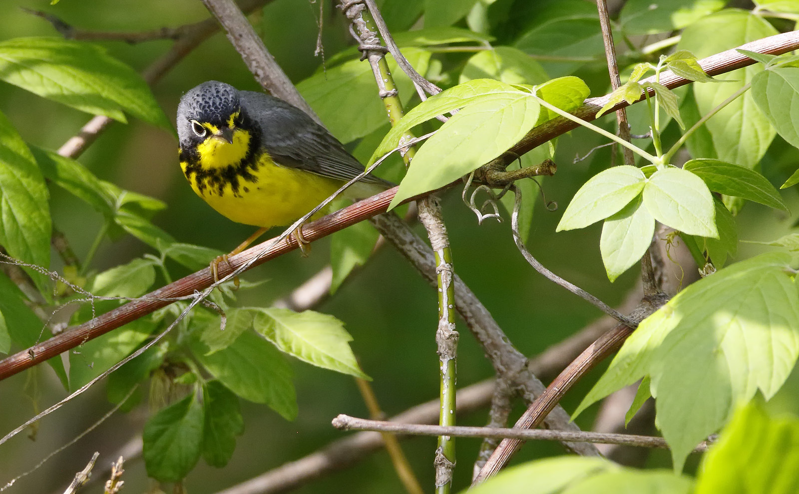 Canada Warbler [male]