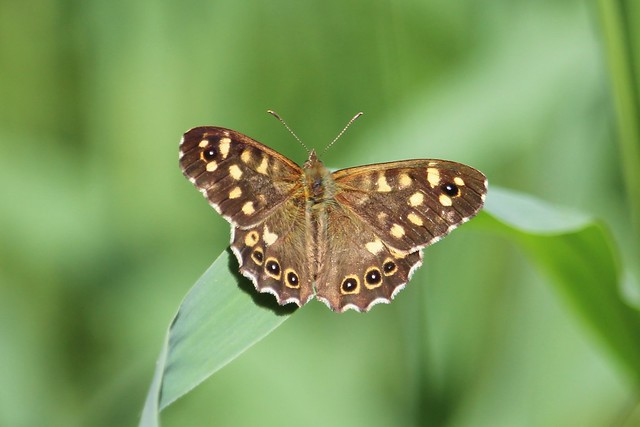 Speckled Wood. Explored.