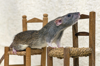 Rat on the chairs | by Tambako the Jaguar