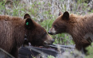 Cinnamon bling mo and cub 5-24-2018 | by mknopfling