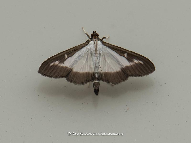 Buxusmot (Cydalima perspectalis)-818_4791