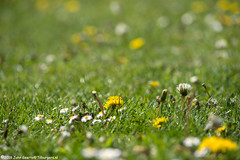 Daisy and Dandelion field