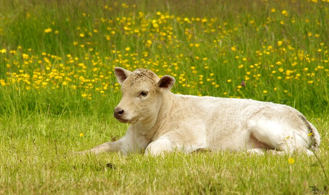 cow calf in a field of butter cups  (2)