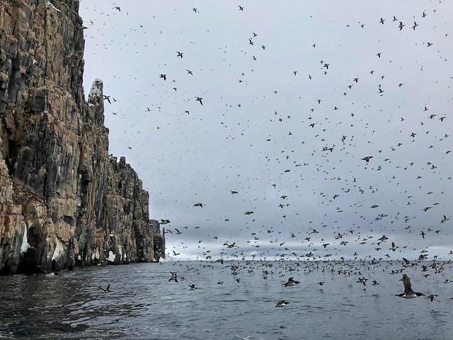 Alkerfjellet (La mayor colonia de araos de Brunnich en Svalbard)