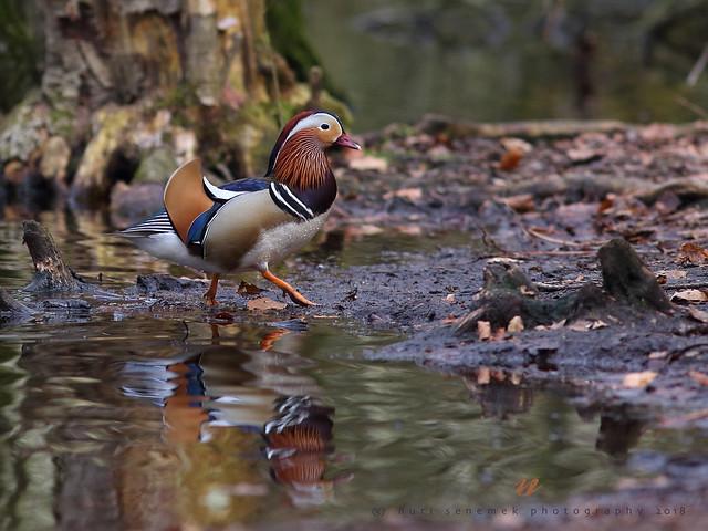mandarin duck / canard mandarin