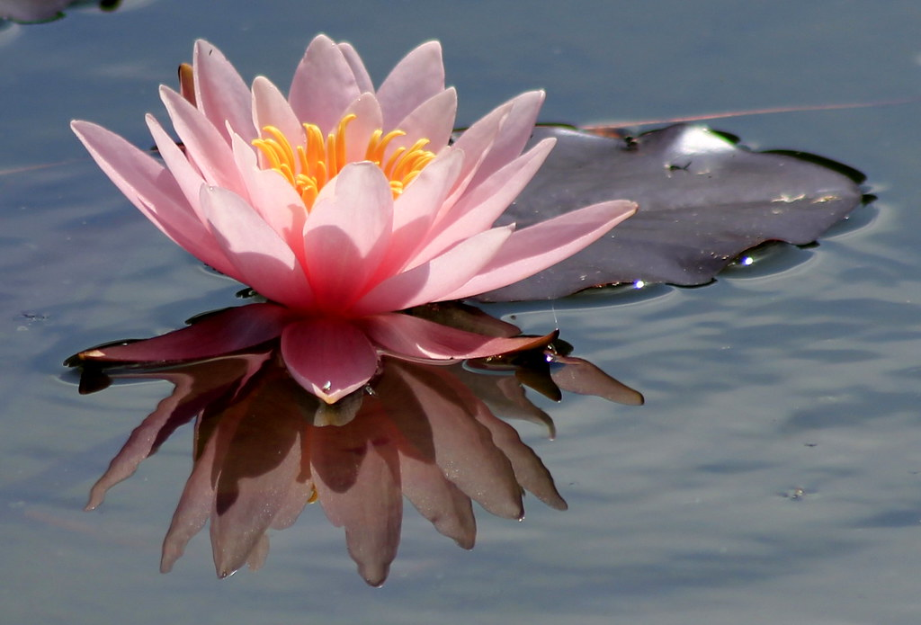 Lotus Flower Meaning Of The Water Lily Or Lotus Flower Is Flickr