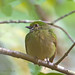 Blue-crowned manakin - Manakin à tête bleue - Saltarín coroniceleste - Lepidothrix coronata - ♀♀♀