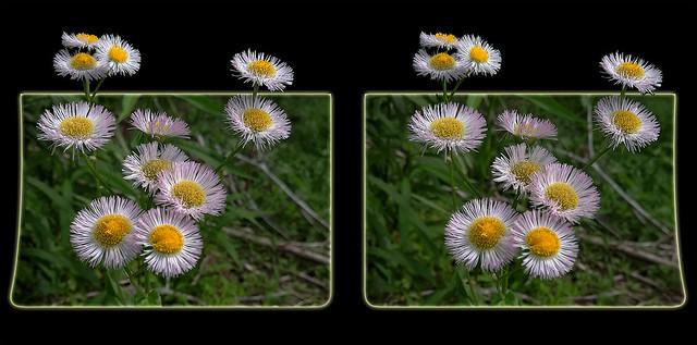 Aster Wildflower Bouquet 1 - Crosseye 3D
