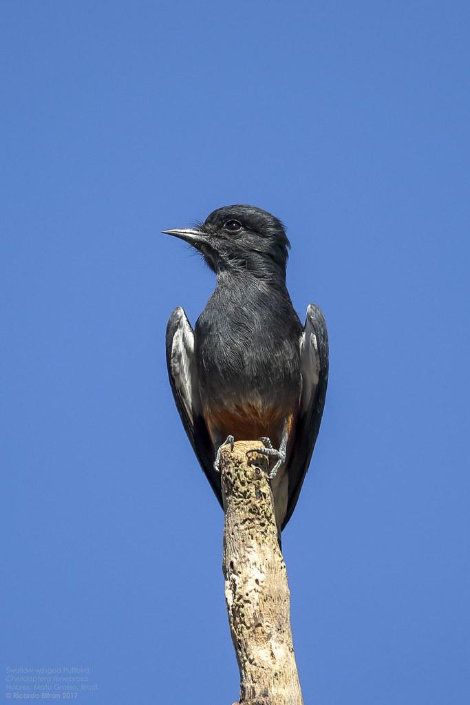 Swallow-winged Puffbird (Chelidoptera tenebrosa) Nobres, Mato Grosso, Brazil 2017