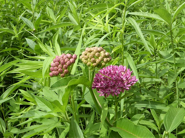 Westchester, IL, Wolf Road Prairie Nature Preserve, Milkweed Flower and Buds