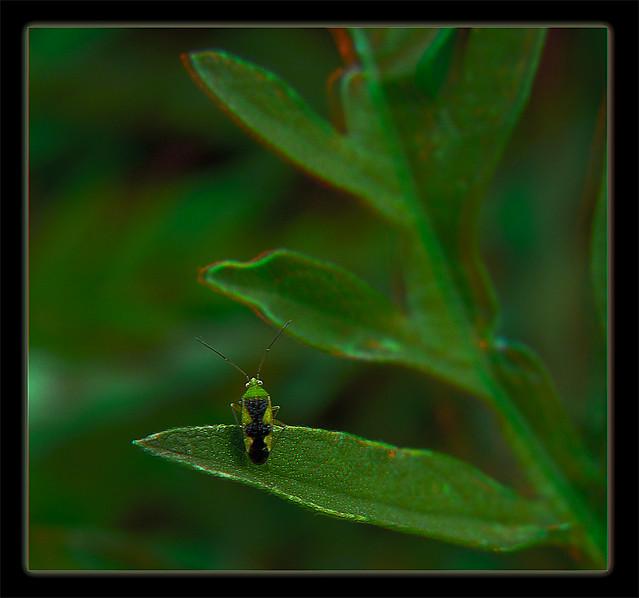 Ornate Plant Bug 1 - Reuteroscopus ornatus - Anaglyph 3D