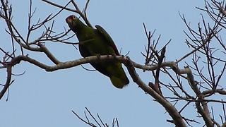 Red-lored Parrot Amazona autumnalis