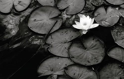 White flower (on black) #blackandwhite #bw #flower #nymphaea #lake #water #black #white #mood #igers #igersitalia #igersmilano #photooftheday #picoftheday #peace #quiet #sad #loneliness #photography | by Mario De Carli