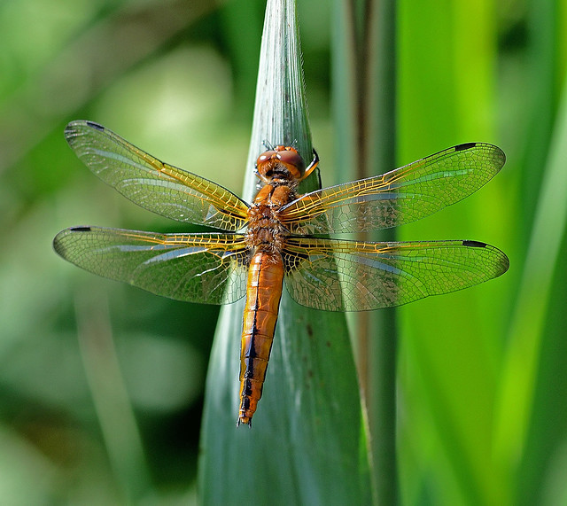 Scarce Chaser,female,Lefkada,Greece.