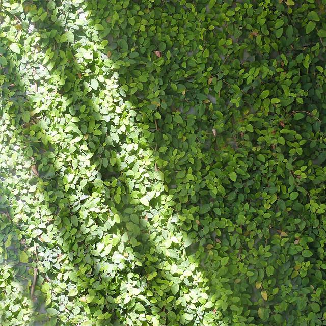 rays on vines