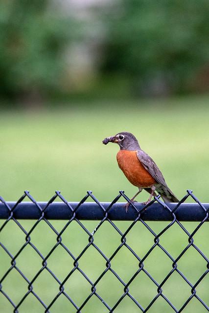 157:365 - A Friendly Robin