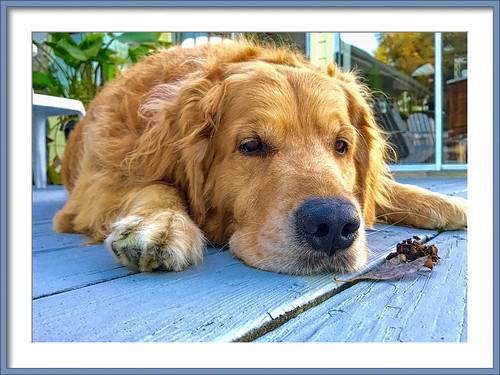golden goldenretriever dog bosun delaware topaz lewes