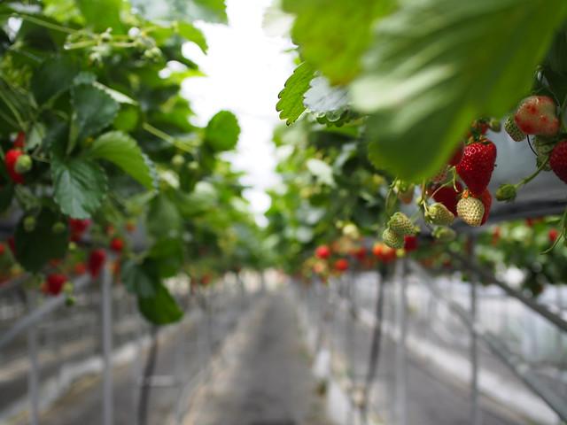 strawberry field...