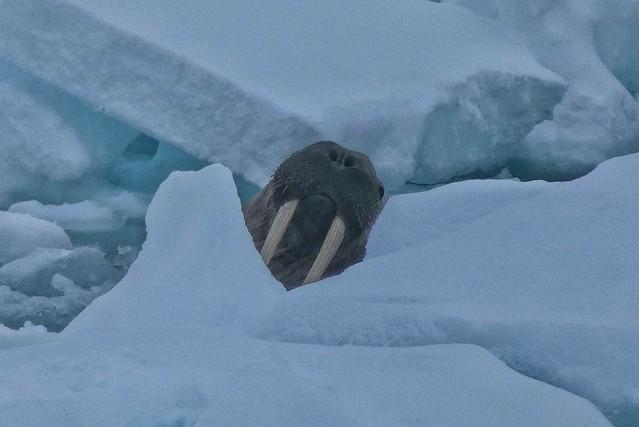Morsa en Svalbard