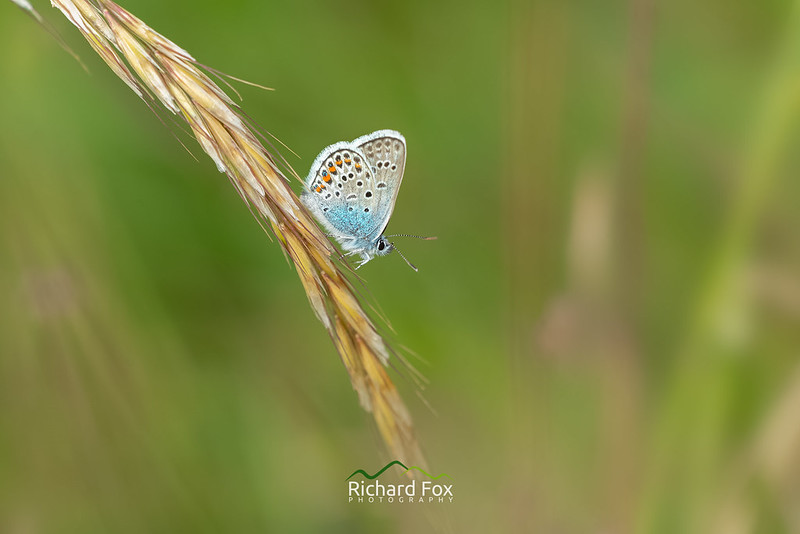 Silver-studded Blue Butterfly ♂