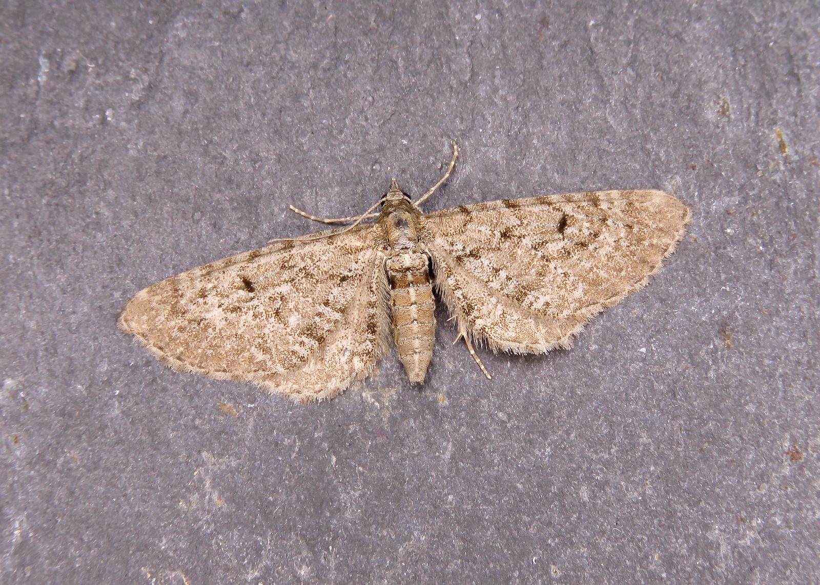 70.176 Freyer's Pug - Eupithecia intricata