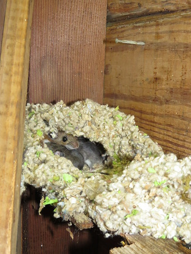 Photo shows the face of a tawney-brown colored mouse and a portion of two smaller gray mice beneath her inside a white, fluffy collection of fibers to form a nest. The nest is located against a wooden wall and beam.