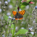 Small Copper (Lycaena phlaeas) by Jason Kernohan