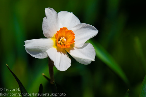 Narcissus | by Kenjis9965