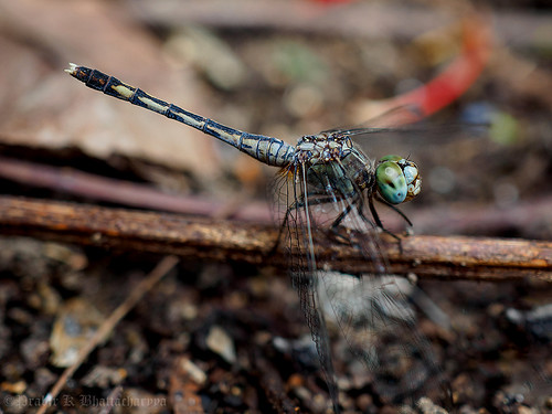 Dragonfly - Magnificent Emperror (Male) | by pkbhat_20032003