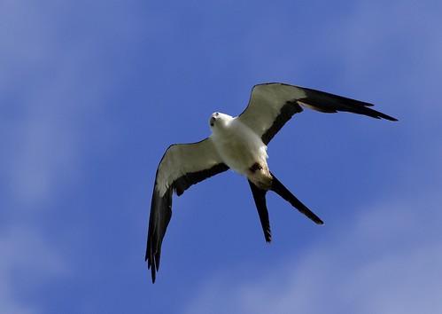 Swallow-tailed Kite | by kidbirder