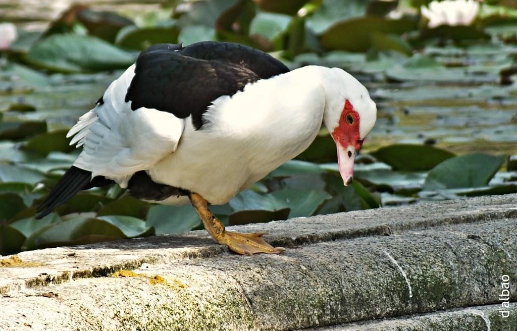 El pato enmascarado.
