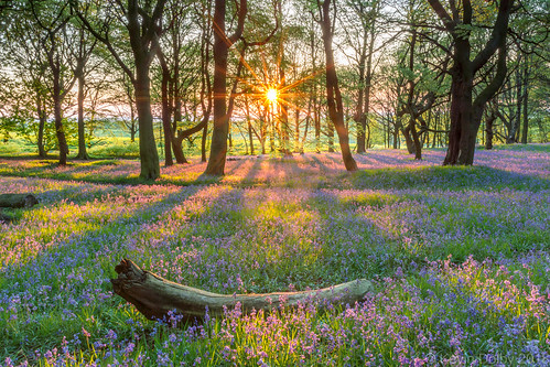 2018 bluebells silverwood may southyorkshire sony alpha sunset spring sun woods wild wildflower woodland uk trees flower flowers landscape ravenfield england unitedkingdom gb