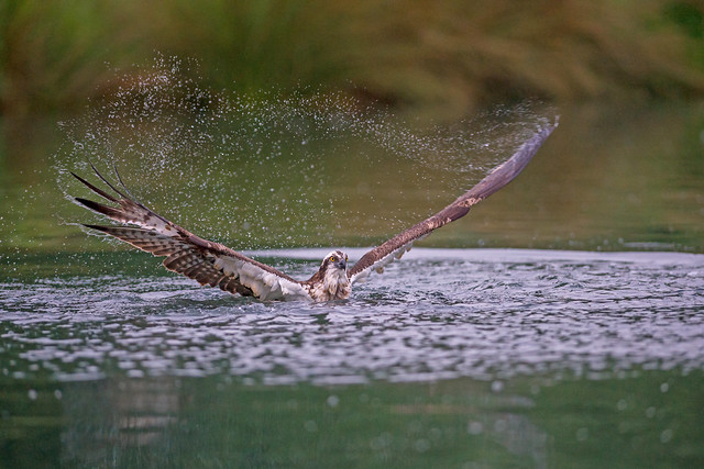 Osprey Early Morning Shower