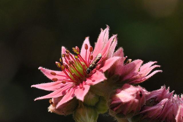 Fleur de joubarbe 3