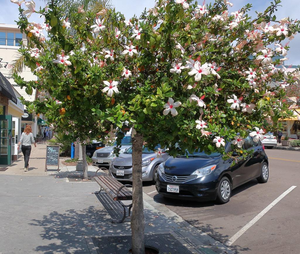 180518 084 La Jolla Ca Prospect St Hibiscus Rosa Sinens Flickr