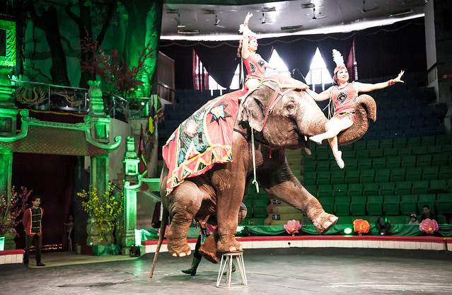 Asian elephant forced to perform clearly damaging tricks