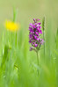 Marsh-Orchid by Will_wildlife