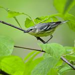 Female Cerulean - N.Central Michigan