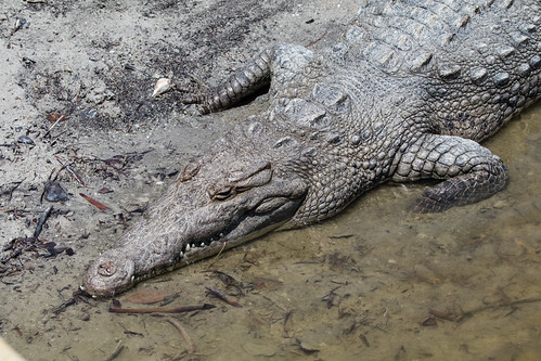 Crocodile at Flamingo in the Florida Everglades