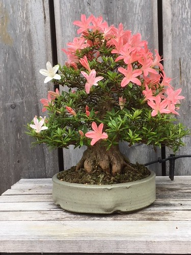 Azalea Bonsai | by LyndenSculptureGarden
