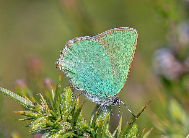 DSC5213 Green Hairstreak..