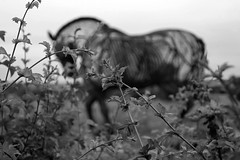 The Featherstone War Horse 3